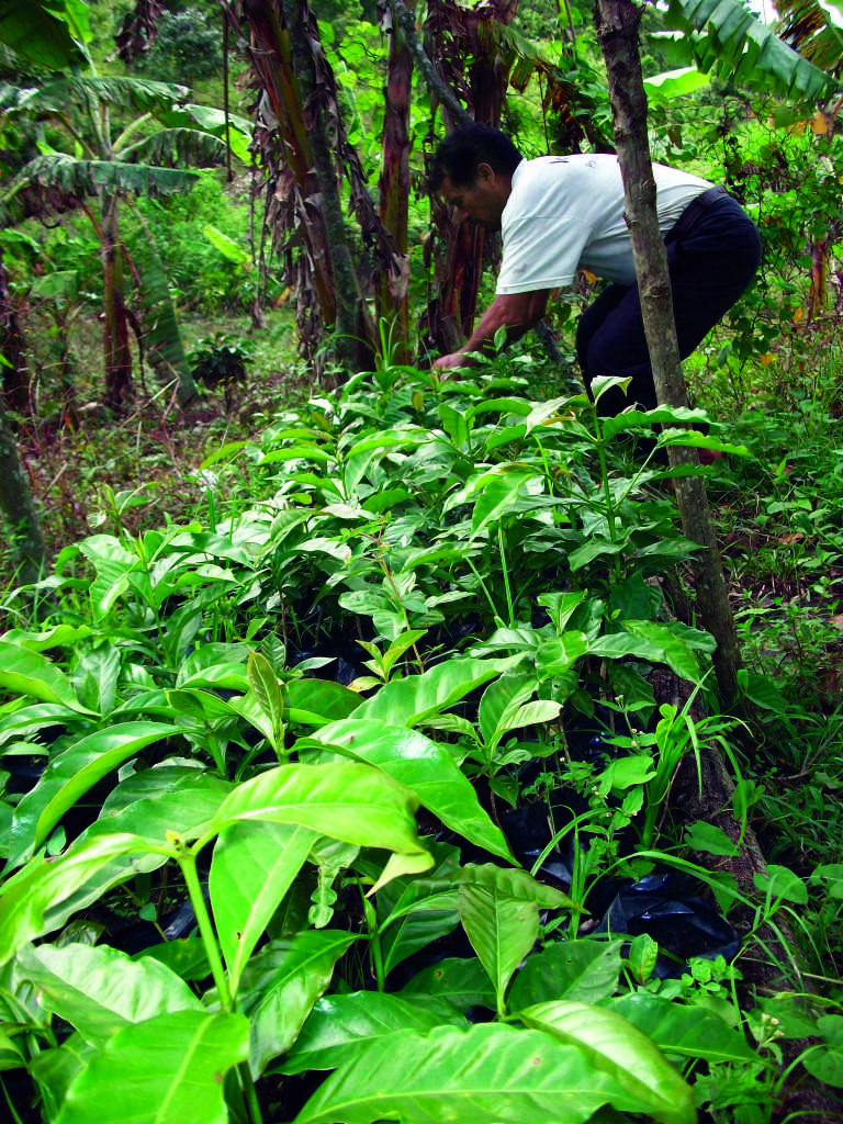 A worker tends to coffee plants at the Maya Vinic Cooperative in Acteal, Chiapas, Mexico in August 2011. Photo courtesy of David Schmidt.