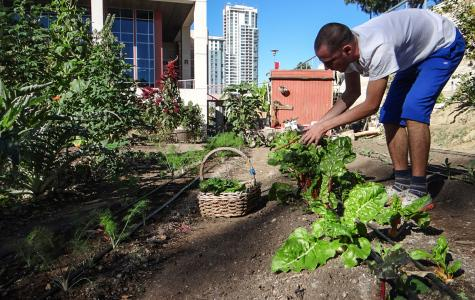 Harvesting has been underway this fall at San Diego City College's Seeds@City urban farm. (Photo by Todd Mata)